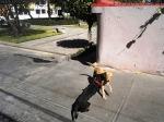 dogs latin america collision