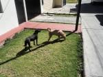 dogs latin america searching
