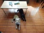 dogs latin america sitting