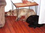 dogs latin america sleeping