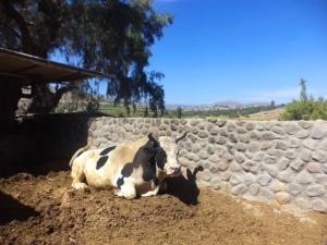 toro-arequipeno-pelea-sabandia-molino arequipa peru